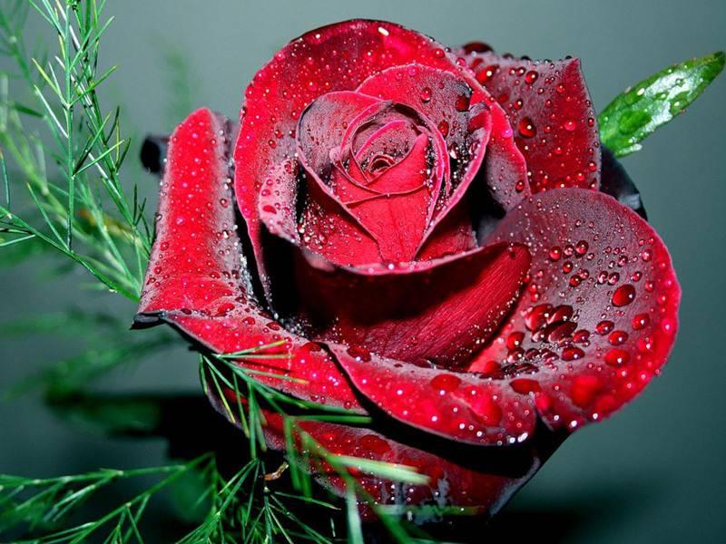 Пазл Собирать пазлы онлайн - Бархатная роза