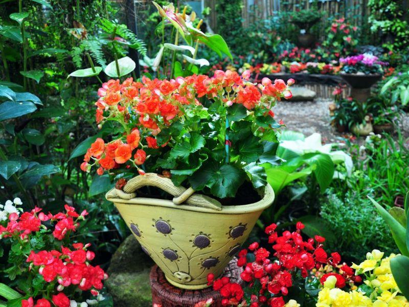 Пазл Собирать пазлы онлайн - Бегонии цветут