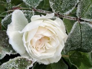 Собирать пазл Белая роза в инее онлайн