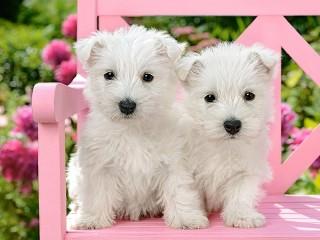 Собирать пазл Белые щенки онлайн