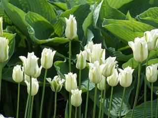 Собирать пазл Белые тюльпаны онлайн