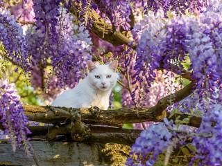 Собирать пазл Белый кот онлайн