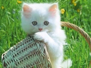 Собирать пазл Белый котёнок онлайн