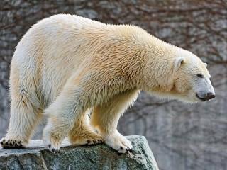 Собирать пазл Белый медведь онлайн