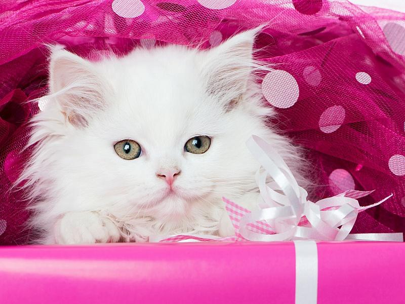 Пазл Собирать пазлы онлайн - Белый кот
