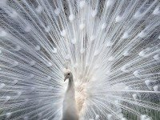 Собирать пазл Белый павлин онлайн