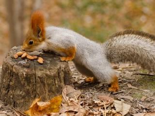 Собирать пазл Белка и орехи онлайн