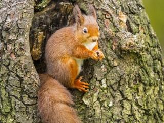 Собирать пазл Белка на дереве онлайн