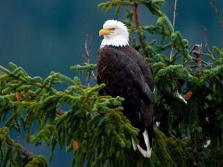 Собирать пазл Белохвостый орлан онлайн