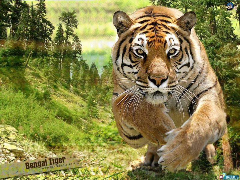 Пазл Собирать пазлы онлайн - Бенгальский тигр