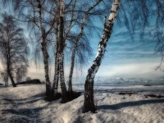 Собирать пазл Берёзы зимой онлайн