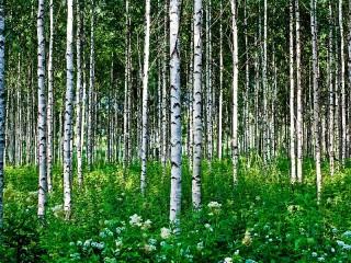Собирать пазл Берёзовый лес онлайн