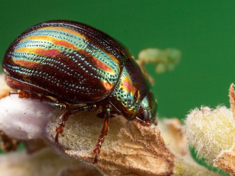 Пазл Собирать пазлы онлайн - Блестящий жук
