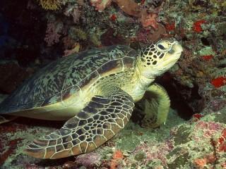 Собирать пазл Большая черепаха онлайн