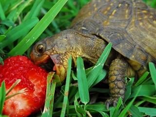 Собирать пазл Черепаха онлайн