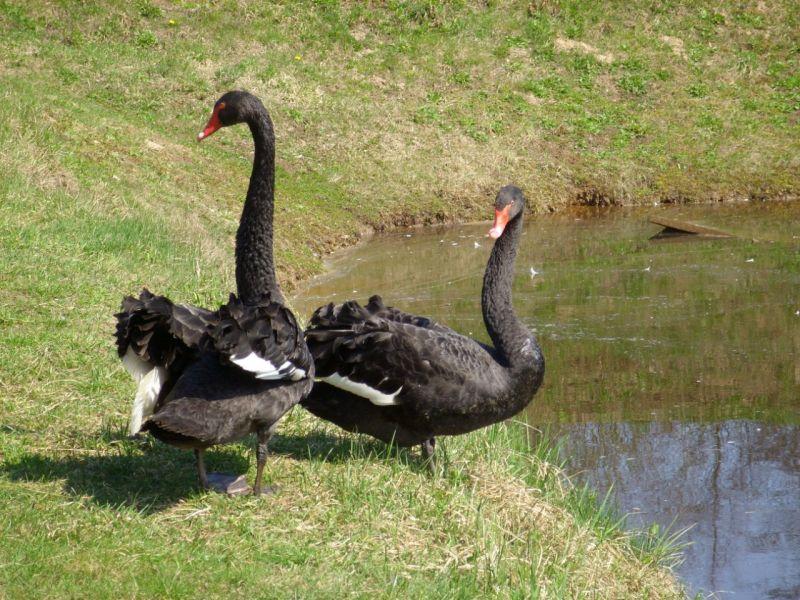 Пазл Собирать пазлы онлайн - Черные лебеди