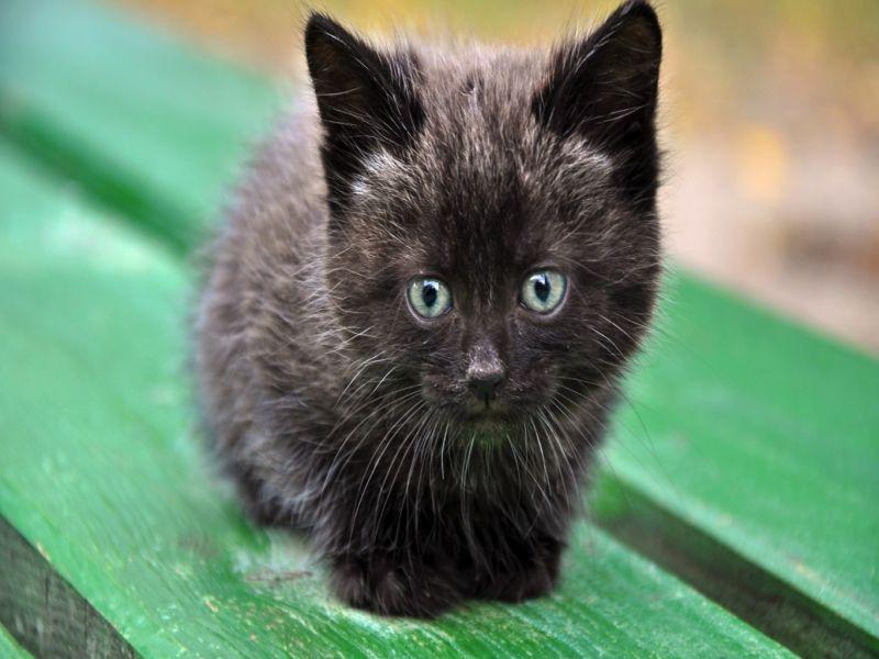 Пазл Собирать пазлы онлайн - Черный котёнок
