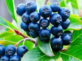 Собирать пазл Черноплодная рябина онлайн