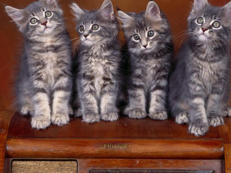 Пазл Собирать пазлы онлайн - Четыре котенка