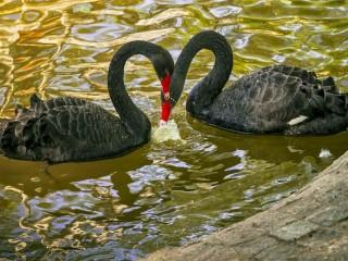 Собирать пазл Чёрные лебеди онлайн