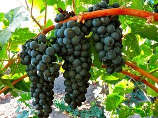 Собирать пазл Чёрный виноград онлайн