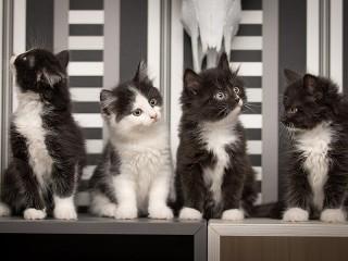 Собирать пазл Чёрно-белые котята онлайн
