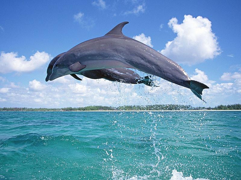 Пазл Собирать пазлы онлайн - Дельфины