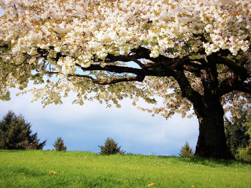 Пазл Собирать пазлы онлайн - Дерево цветет
