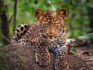 Собирать пазл Детеныш леопарда онлайн