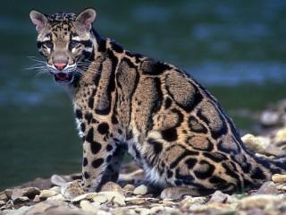 Собирать пазл Дымчатый леопард онлайн