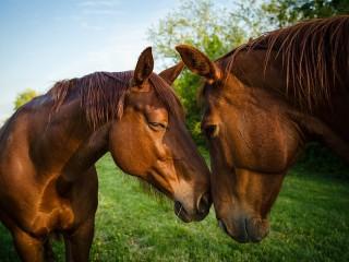 Собирать пазл Два коня онлайн