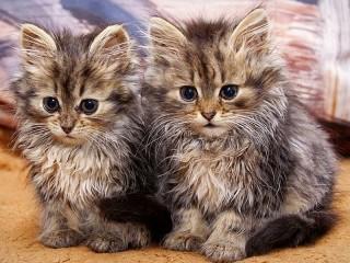 Собирать пазл Два котёнка онлайн