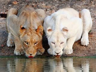 Собирать пазл Два льва онлайн