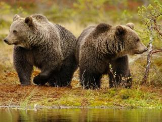 Собирать пазл Два медведя онлайн