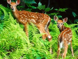 Собирать пазл Два оленя онлайн
