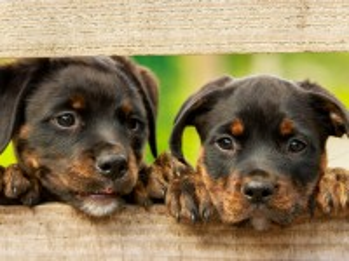 Собирать пазл Два щенка онлайн