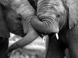 Собирать пазл Два слонёнка онлайн