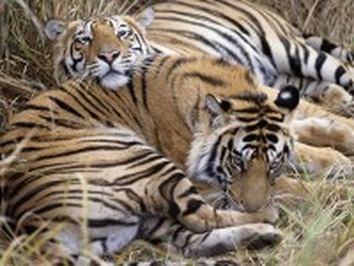 Собирать пазл Два тигра онлайн