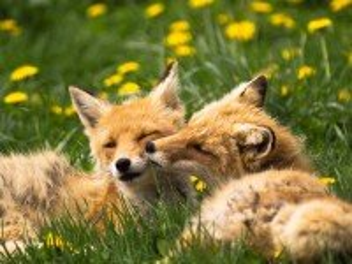 Собирать пазл Две лисички онлайн