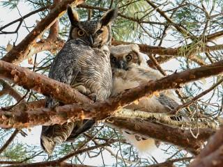 Собирать пазл Две совы онлайн