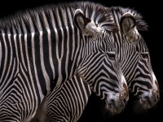 Собирать пазл Две зебры онлайн
