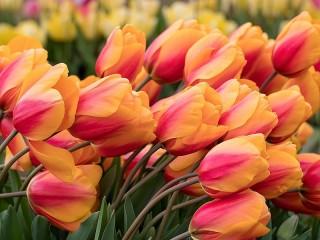 Собирать пазл Двухцветные тюльпаны онлайн