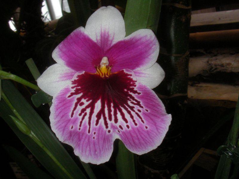 Пазл Собирать пазлы онлайн - Розово-белый цветок