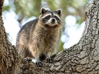 Собирать пазл Енот на дереве онлайн