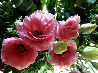 Собирать пазл Эустома розовая онлайн