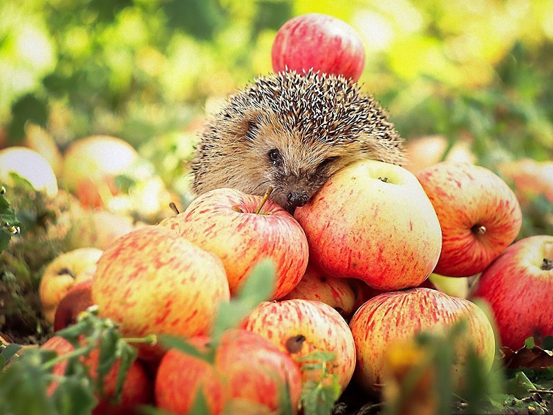 Пазл Собирать пазлы онлайн - Еж среди яблок
