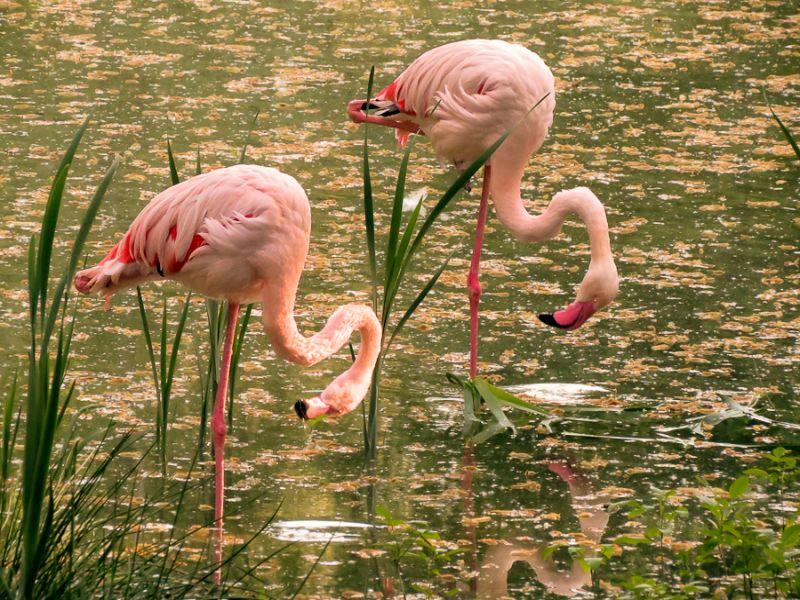 Пазл Собирать пазлы онлайн - Фламинго