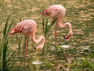 Собирать пазл Фламинго онлайн