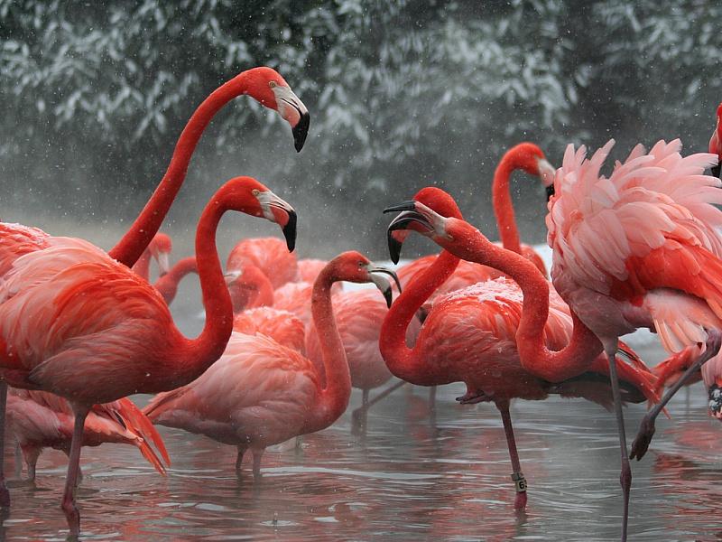 Пазл Собирать пазлы онлайн - Фламинго в снегу