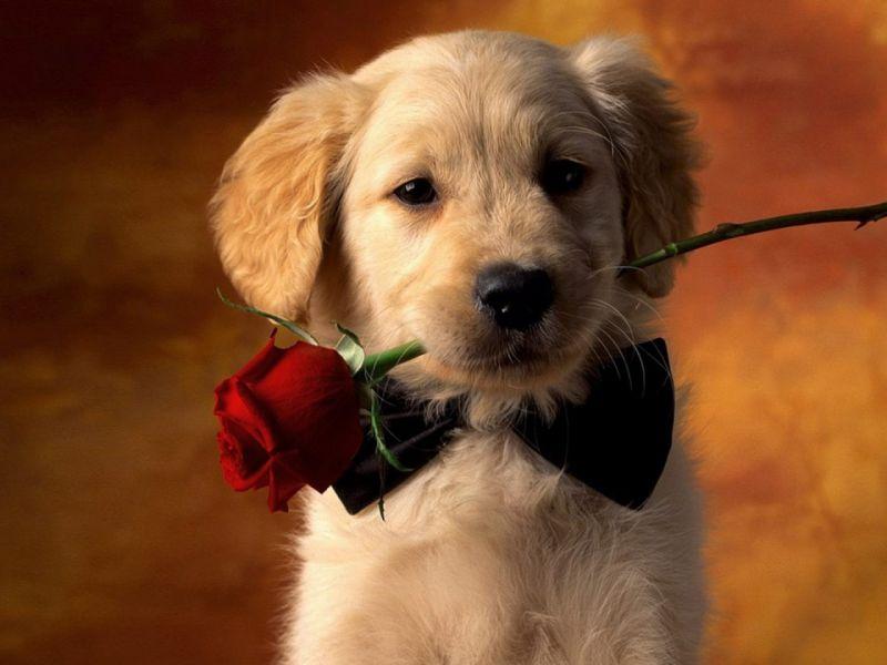 Пазл Собирать пазлы онлайн - Галантный щенок